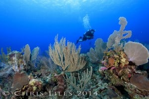 Hamanasi Guest Brian diving along the top of the coral reef at Turneffe Atoll.