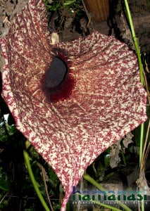 flowers of Belize and Hamanasi