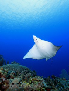 Scuba diving Belize barrier reef spotted eagle ray