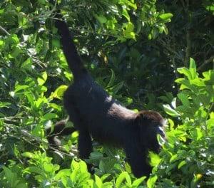 Black Howler Monkey (Female) (1)