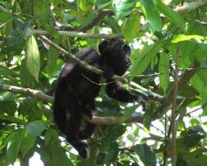 Black Howler Monkey (Juvenile)