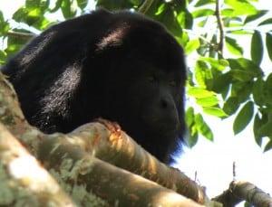 Black Howler Monkey (Male) (2)