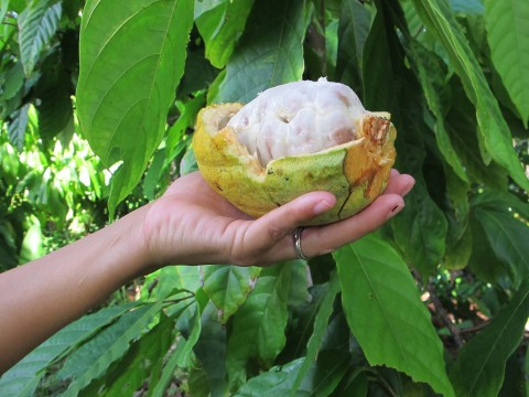 Close up of Cacao Fruit on Belize organic cacao farm
