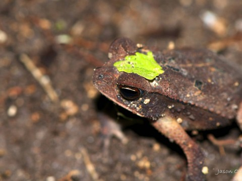 frog in jungle in Belize