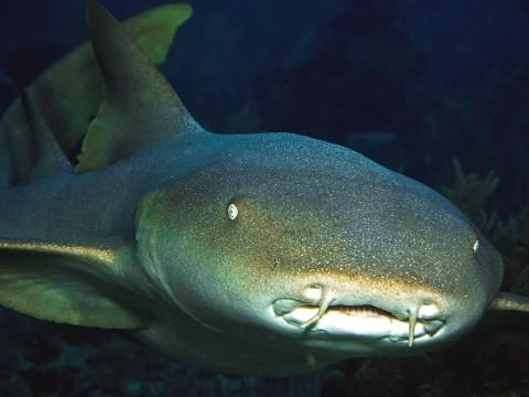 A curious nurse shark on the Belize barrier reef
