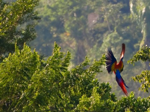 Flying Macaw near Red Bank Belize