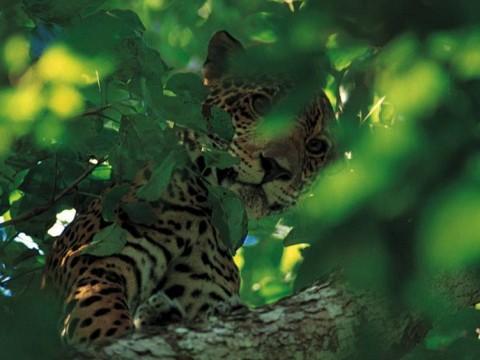 Jaguar in Tree in Belize park