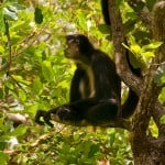 Spider monkey in jungle in Belize seen with Hamanasi resort tour