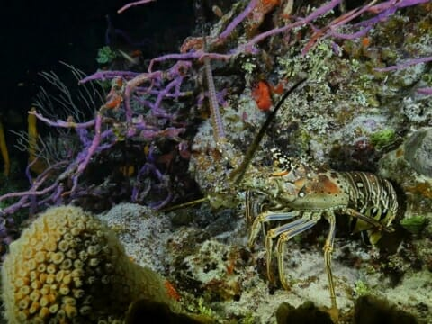 Spiny Lobster at night on colorful reef in Belize
