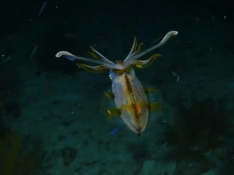 Squid at night