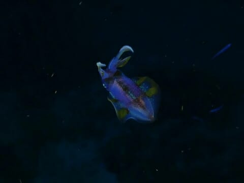 Squid at night on Belize Barrier reef