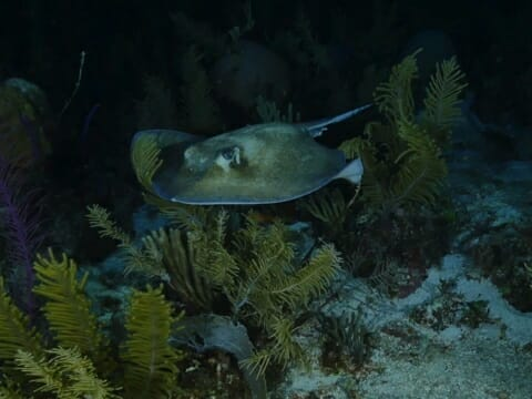 Southern sting ray hunts in the dark on night dive in Belize