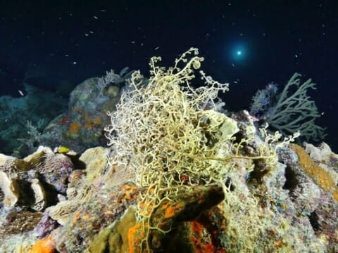 Corals and small fish seen on night dive on Belize Barrier reef